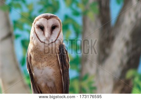 A majestic barn owl looking regal with its heart shaped face.