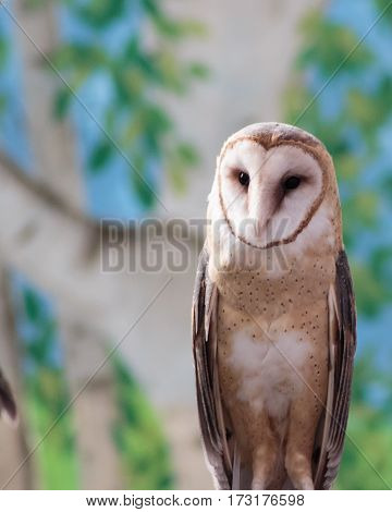 A beautiful barn owl with its heart shaped face and speckled chest.