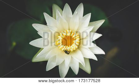 Close up white color fresh lotus blossom or water lily flower blooming on pond background, Nymphaeaceae