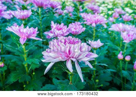 purple chrysanthemum flowers in the garden background