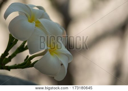 White Plumeria blooming beautiful in dawn light bokeh background with copy space.
