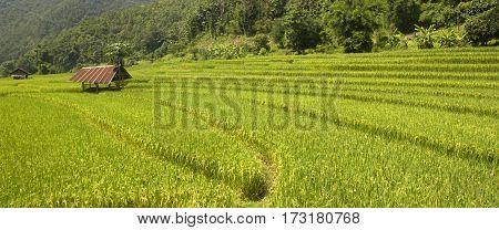 Green Rice Field In Chiangmai Thailand