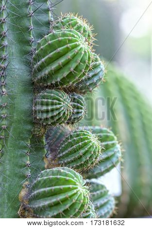 Cactus growing in the natural world, it is drought resistant plants well under extreme energy represents human suffering before the rigors of nature