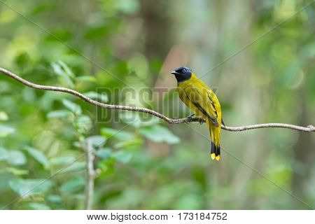 Black-headed bulbul bird in yellow with black head perching on tree branch in forest, summer in Thailand, Asia. (Pycnonotus atriceps)