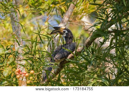 Oriental pied hornbill bird in black white sitting on tree eating ripe red Pithraj fruit in wild nature, Thailand, Asia (Anthracoceros albirostris)