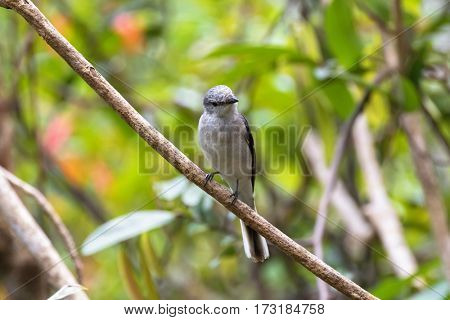 Brown Rumped, Swinhoe's minivet, cuckooshrike bird in grey perching on branch with blurred green forest, background in Thailand, Asia (Pericrocotus cantonensis)