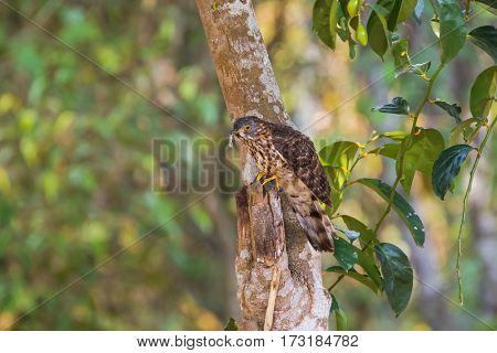 Immature Large Hawk Cuckoo, eagle hawk bird in brown with dots on tummy, yellow eye rings eating hairy worm on tree in Thailand, Asia (Hierococcyx sparverioides)