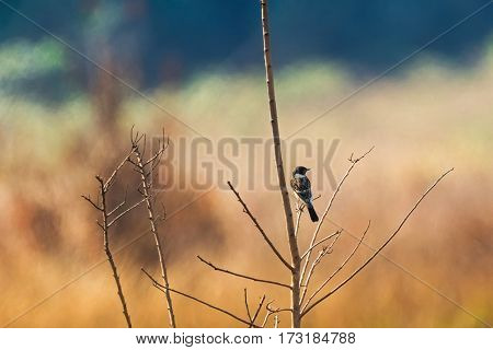 Back of Siberian Stonechat, Asian stonechat, Old World flycatcher bird sitting on branch all alone with blurred background in Thailand, Asia (Saxicola maurus)