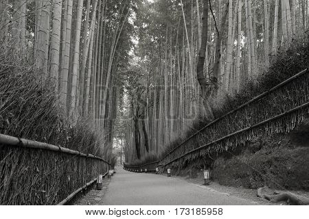 Black and White Arashiyama bamboo forest and groved with walking path in Kyoto Japan