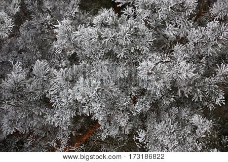 The pine needles are covered by hoarfrost and look as in winter festively.