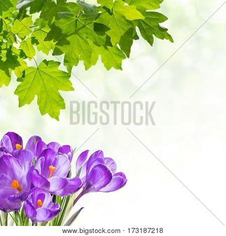 Spring Background With Crocus