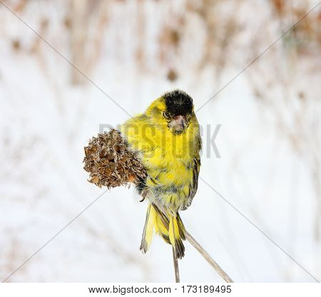 The siskin sits on a blade in the winter sunny day