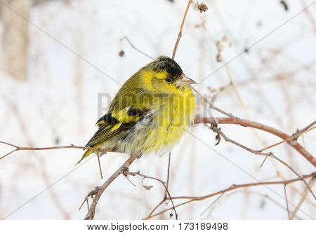 The ruffled-up siskin sits on a curved branch