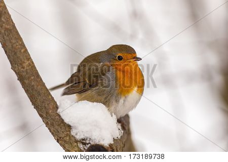 portrait of a robin on a branch in winter