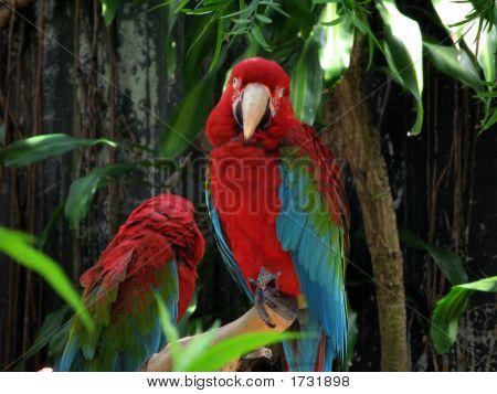 Rainbow Macaws