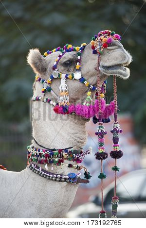 festively dressed up portrait of a camel. India