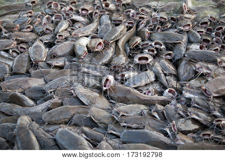 flock eating catfish in the lake India