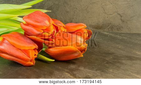 Tulip bouquet in red on a background of slate