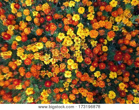 beautiful background: mix of red yellow and orange flowers top view