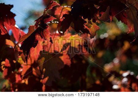 Close-up of maple leaves on a sunny day