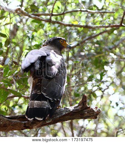 Crested serpent eagle Spilornis cheela spilogaster national park Wilpattu Sri Lanka eagle opening its wings