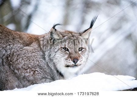 Eurasian Lynx in a Winter Forest. Daytime in a Lithuanian forest. Close up
