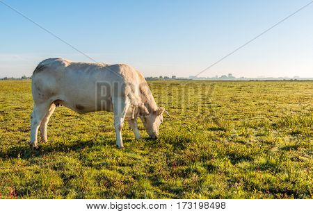Baclit image of a young creamy colored cow quietly grazing in a flat Dutch nature area early in the morning of a sunny day in the fall season.