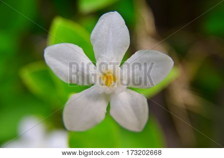 white flower have five leaves on the garden