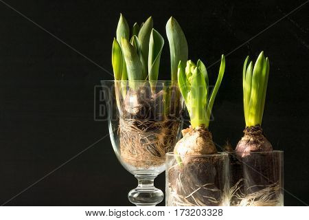 Closeup Of Hyacinth Flowers Against Black Background