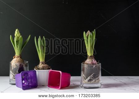 Cultivating Hyacinth Flowers, Gardening Hobby Concept