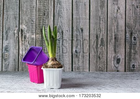 Early Hyacinth Plant On Wooden Background