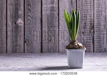 Single Hyacinth Flower, Selective Focus