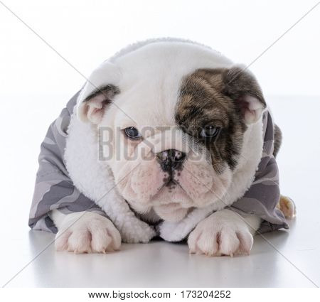 adorable male bulldog puppy wearing winter jacket
