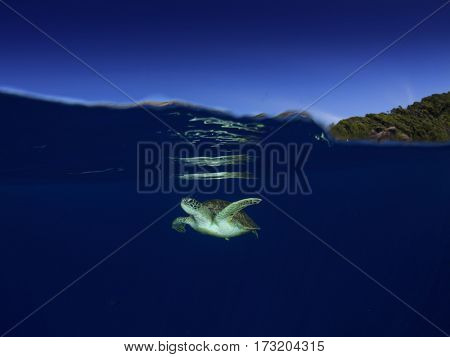 Green Sea Turtle underwater. Half and half split image over under