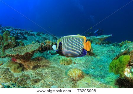 Tropical fish andscuba diver. Emperor Angelfish