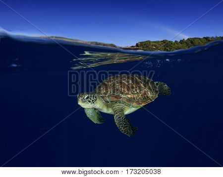 Green Sea Turtle in ocean with sky