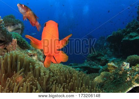 Tomato Anemonfish clownfish fish