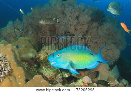 Parrotfish fish and coral reef