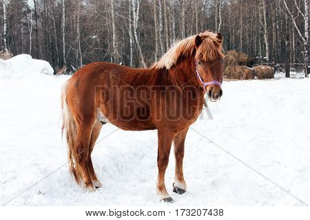 brown horse on pasture in the winter