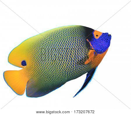 Blue-faced Angelfish. Tropical fish isolated white background