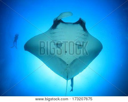 Manta Ray scuba diver