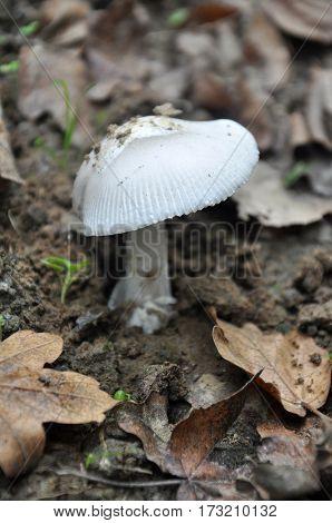 Amanita vaginata, the grisette in the forest, Gray slim amanita mushroom