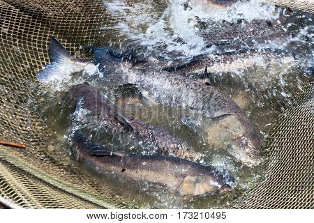 A few carp Hypophthalmichthys in a fishing net. Fish farms.