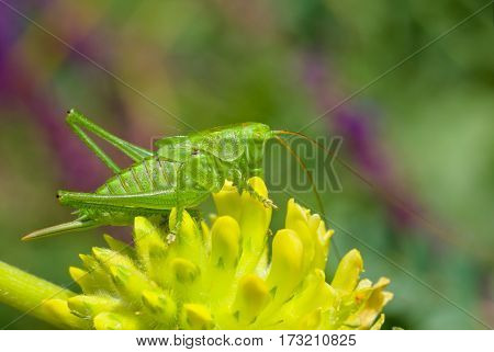 Big green grasshopper sitting on a yellow wild flower against variegated summer natural background.