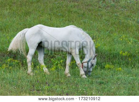 Dirty white horse (mare) on a spring pasture.
