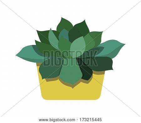 Echeveria succulent plant in the family Crassulaceae