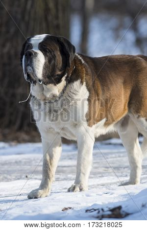 A St Bernard dog on a winter day