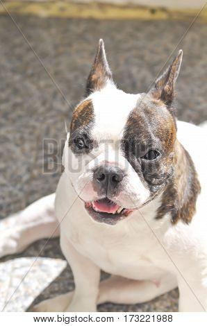 sunbathe French bulldog or waiting dog on the floor