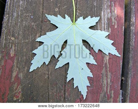 photography with scene of the green maple leaf on wooden board