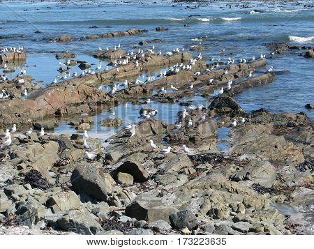 Seagulls on the rocky coast at MELKBOS STRAND, CAPE TOWN SOUTH AFRICA